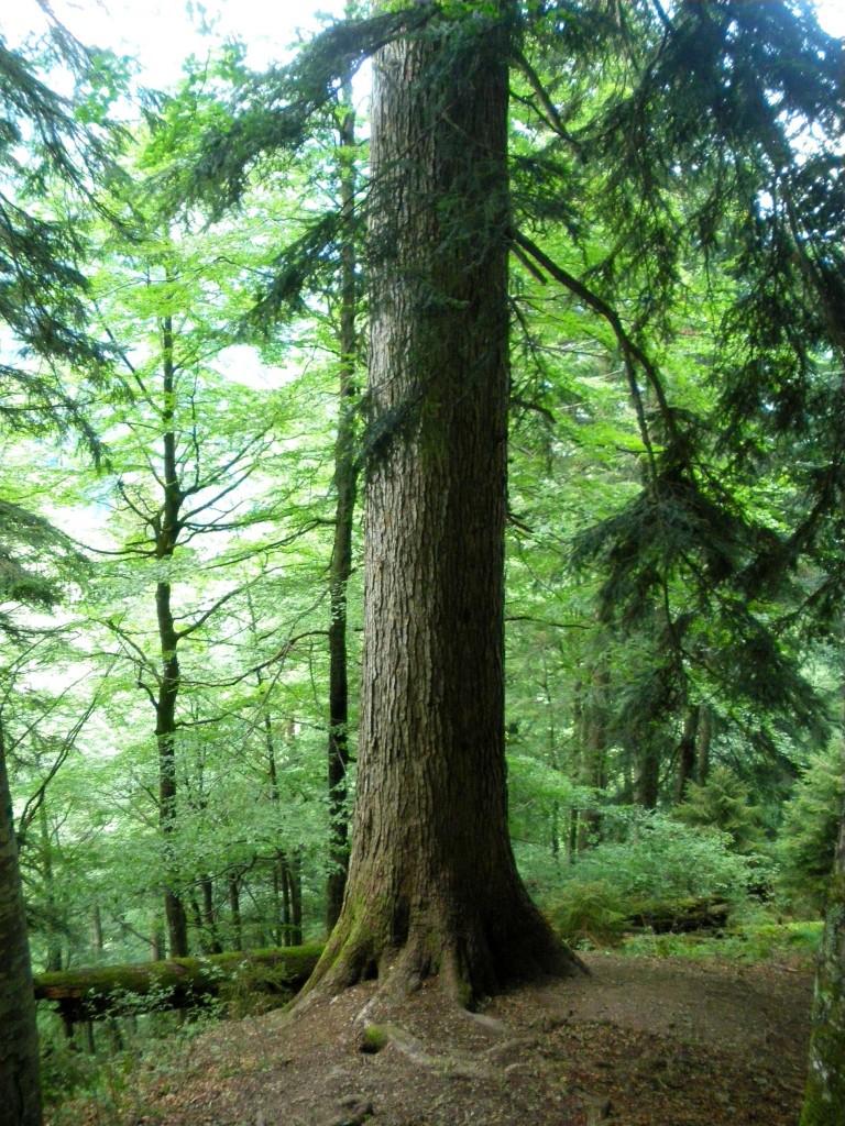 die höchsten Bäume Österreichs