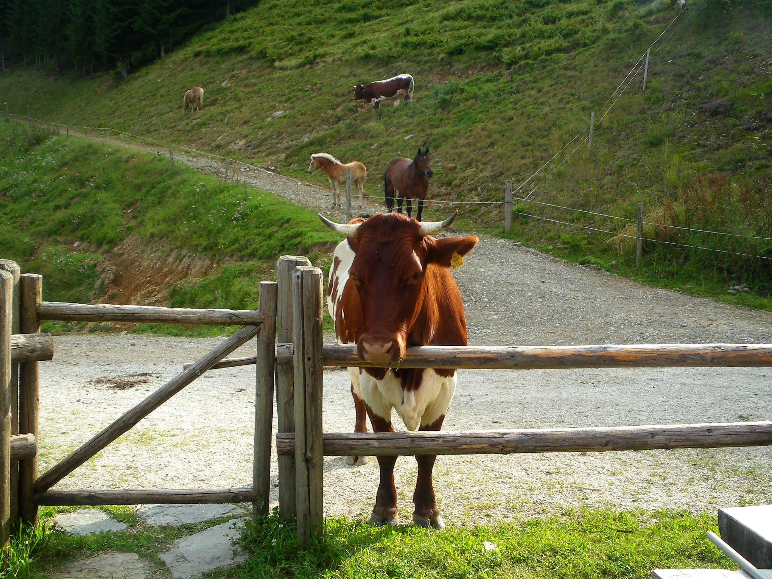 Kühe bei der Rocherhütte