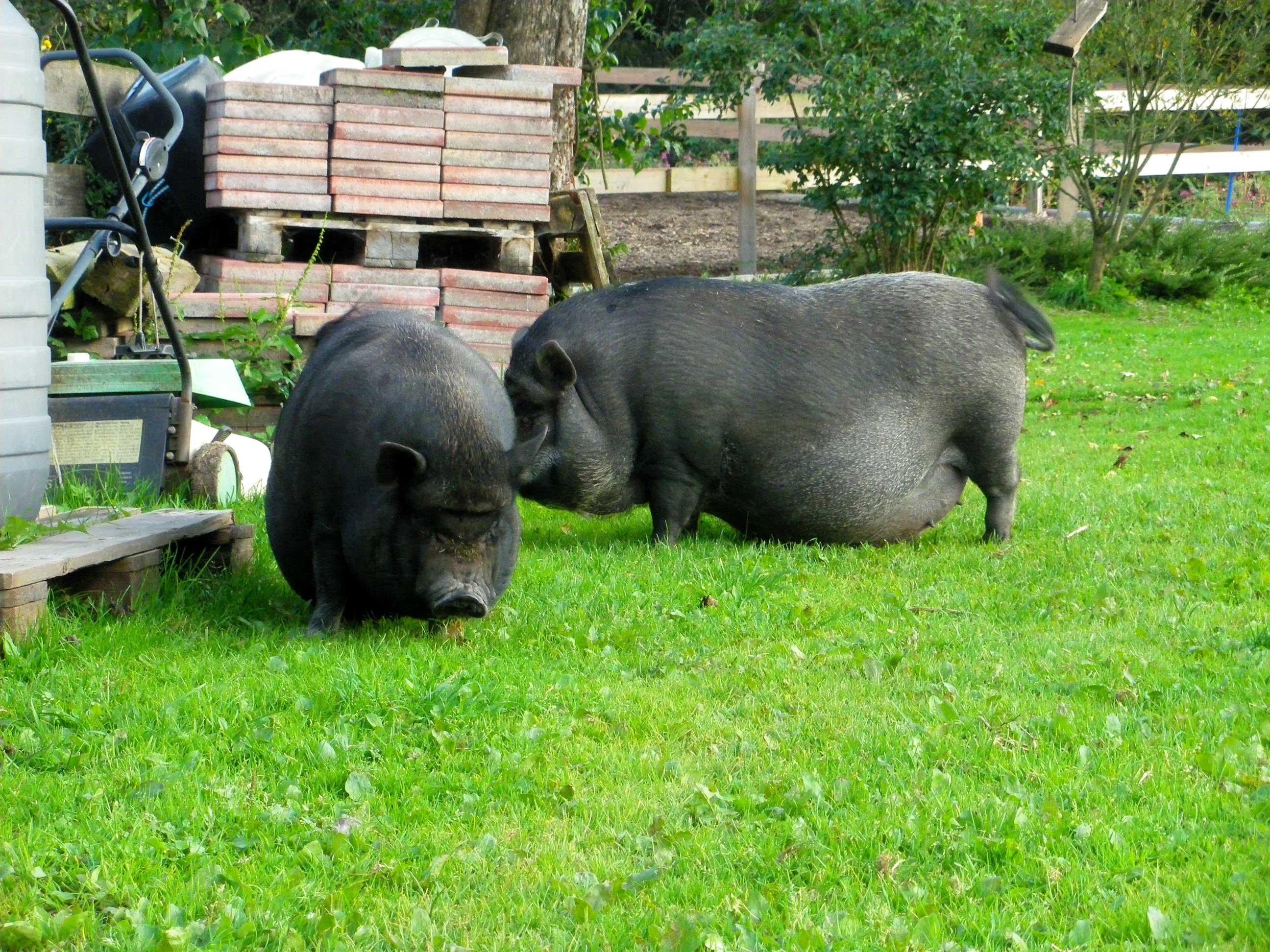 Hängebauchschweine am Haflingerhof