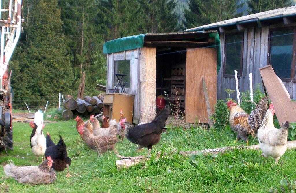 Hühner am Haflingerhof
