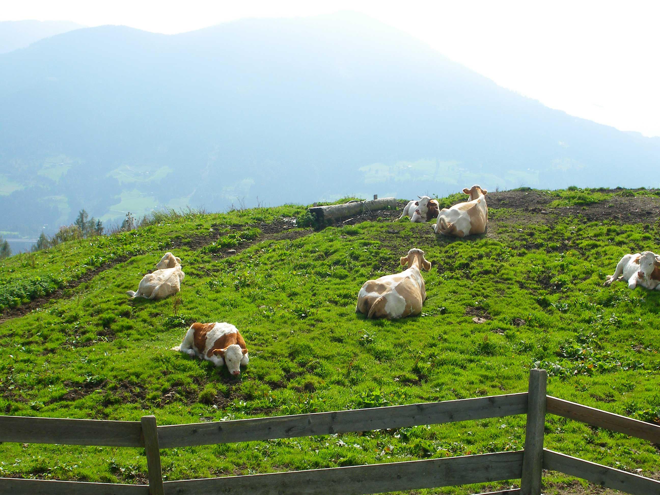 Ruheplatz für Kühe
