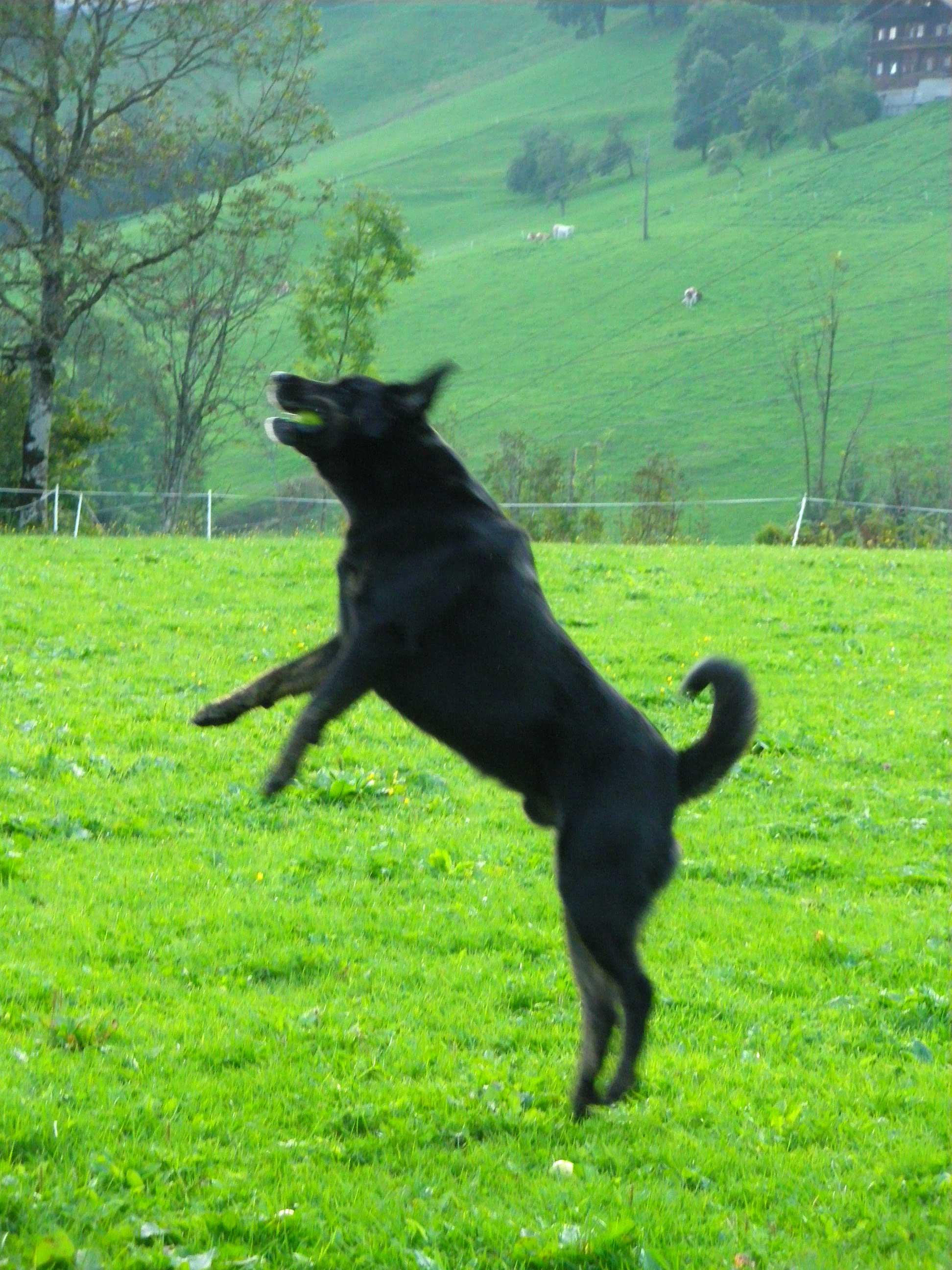 sportlicher Hund am Haflingerhof
