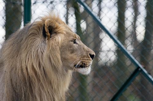 Löwe im Zoo in Salzburg - Tagesausflug in den Salzburger Zoo