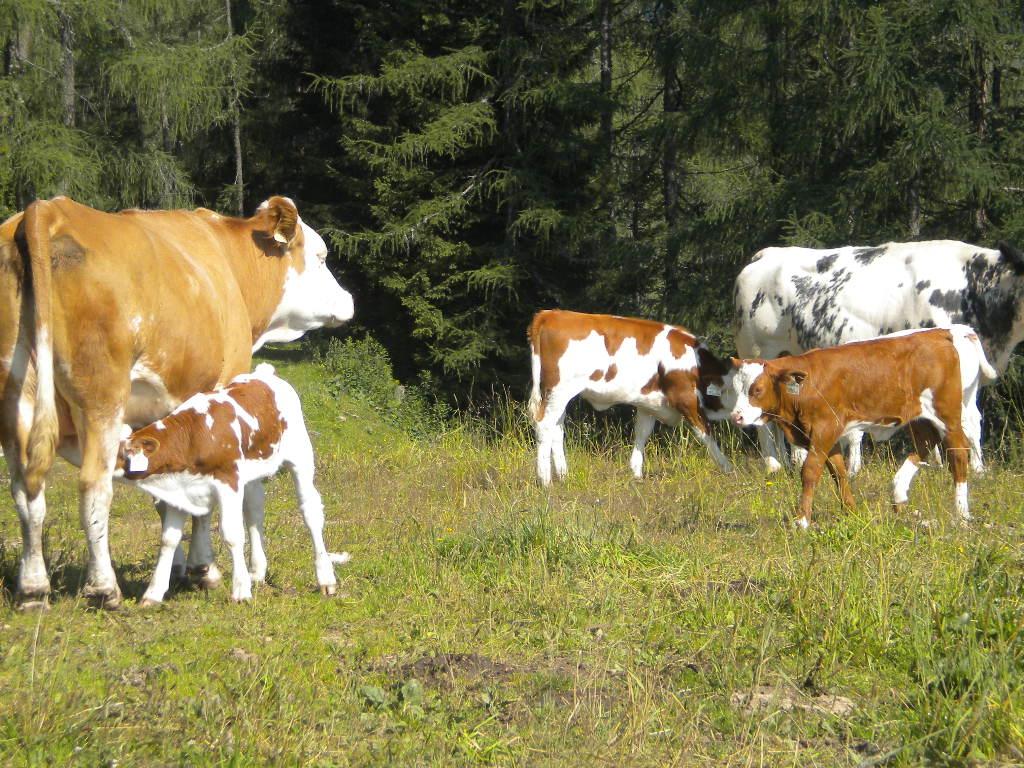 Kühe mit Kälbern auf Sommerfrische auf der Alm