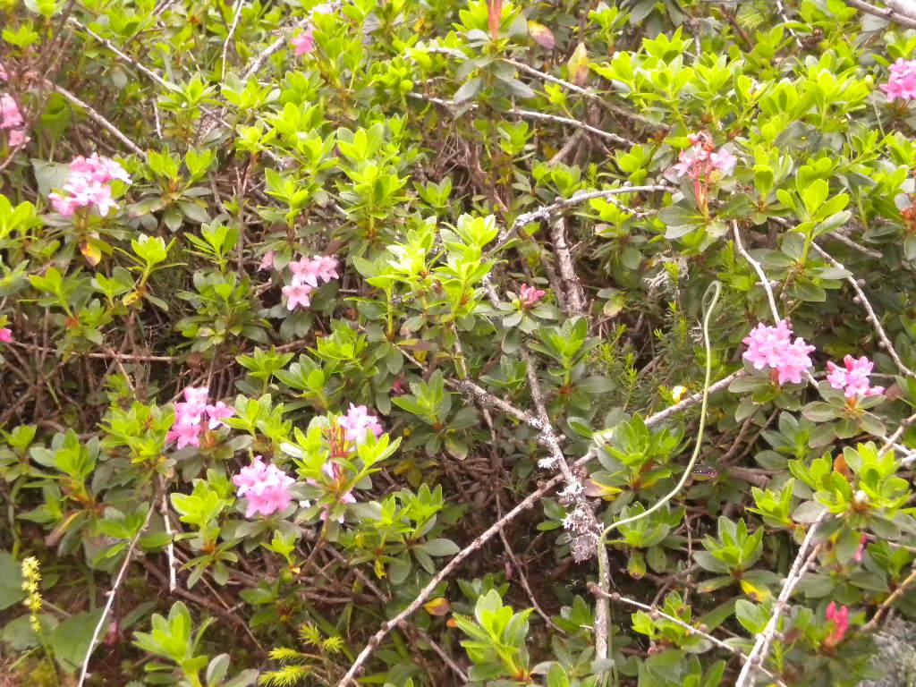 Almrose - wunderschön und unter Naturschutz