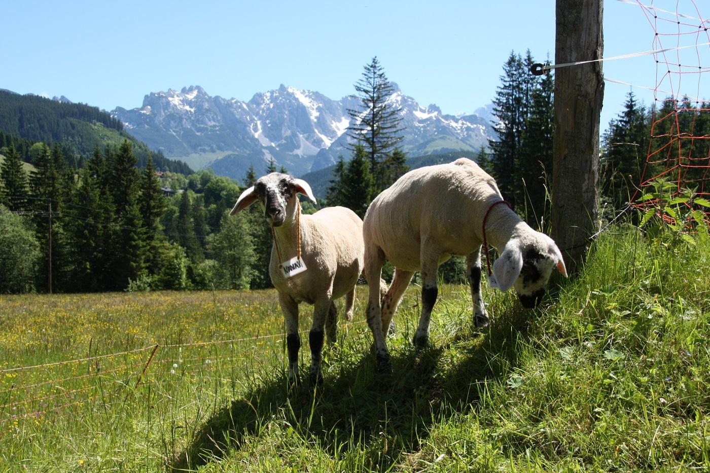 Unsere Schafe am Bauernhof des Berghotel Lämmerhof
