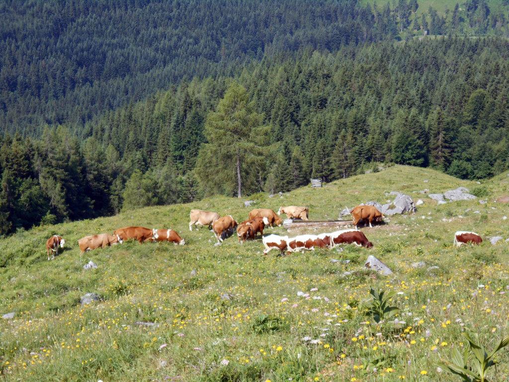 Die Kühe grasen gemütlich auf der Alm