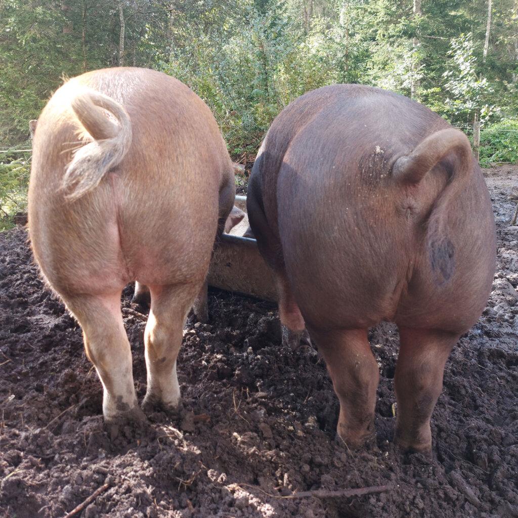 Schweine in artgerechter Haltung