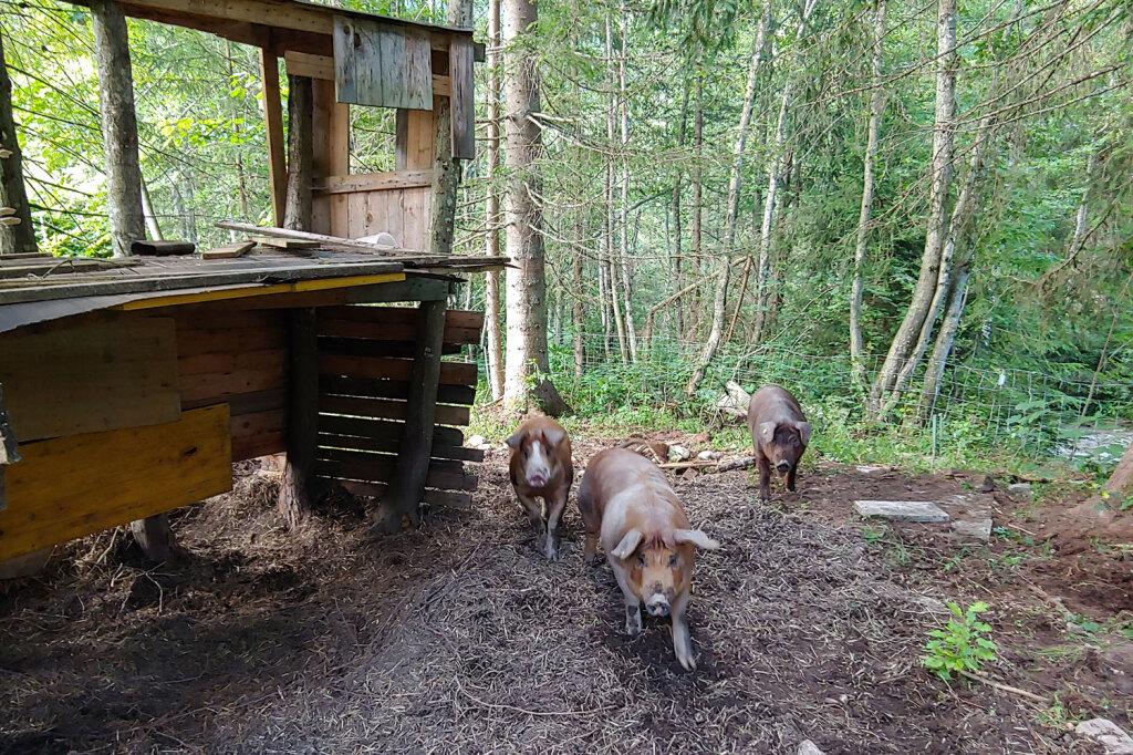 Freilandhaltung für Schweine