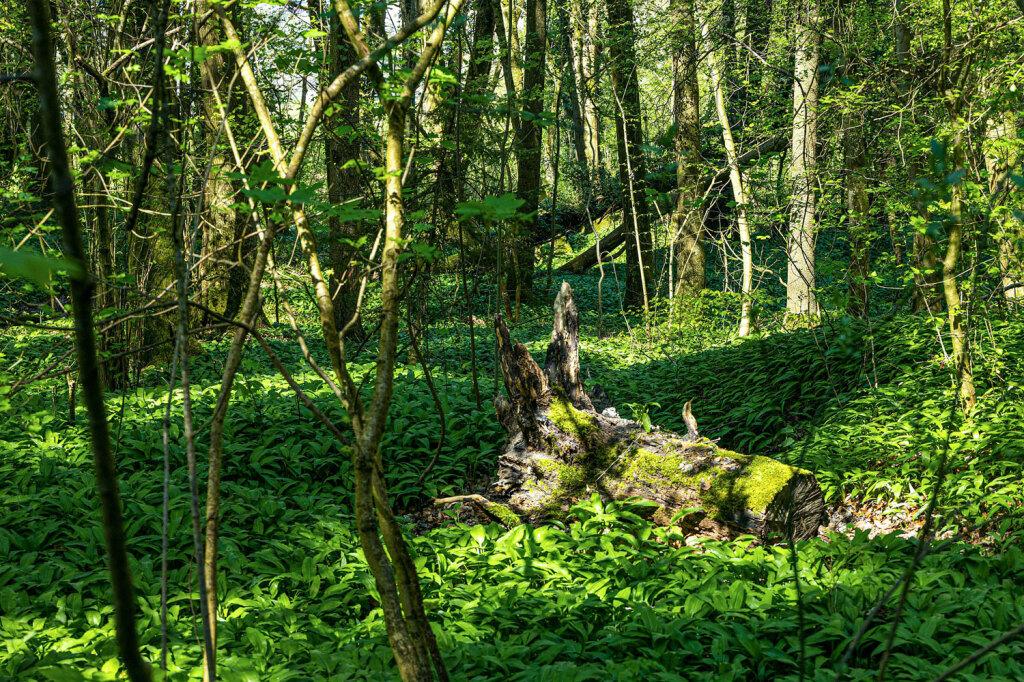 baerlauch-wald-natur