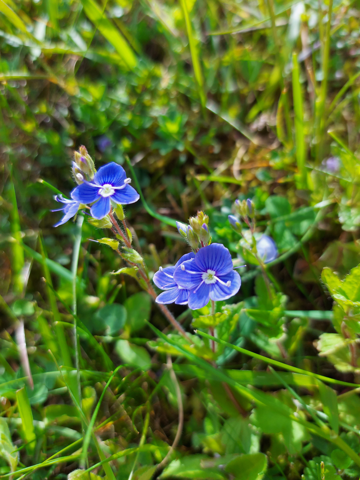 Kleine blau-violette Almblume