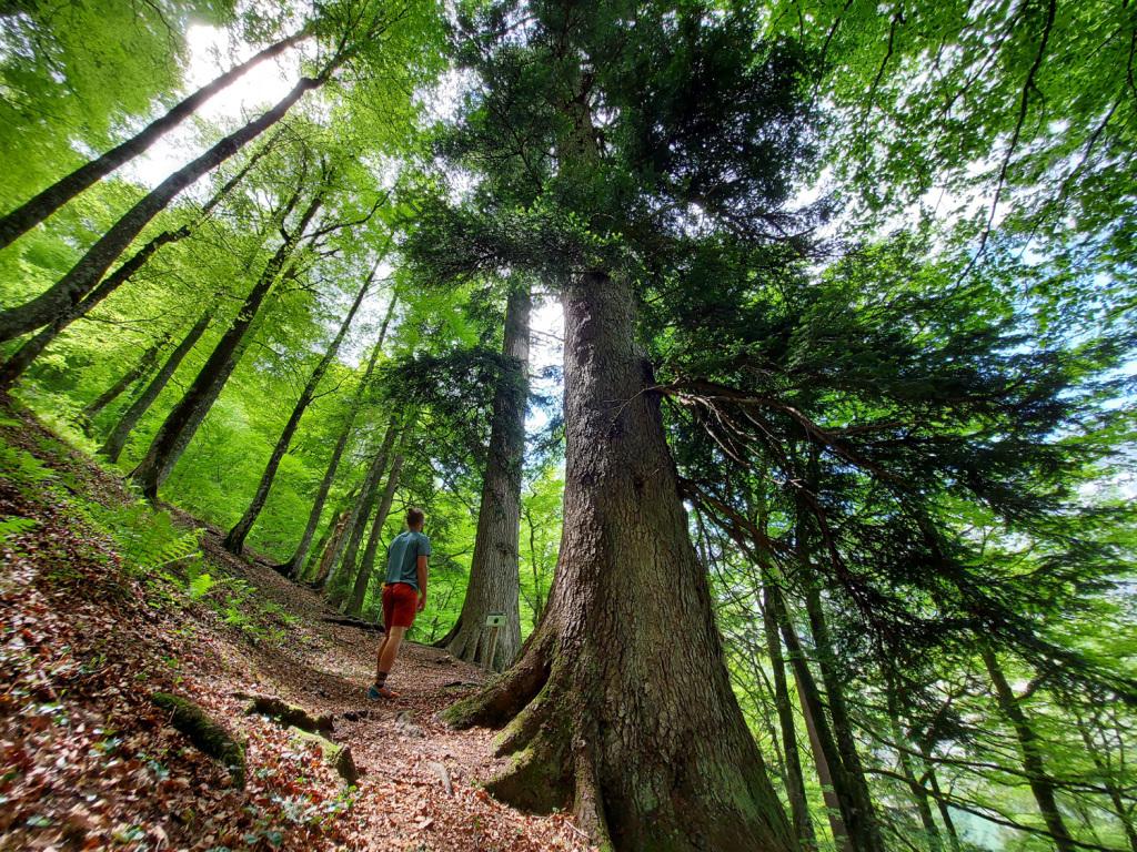 Höchste Bäume Österreichs
