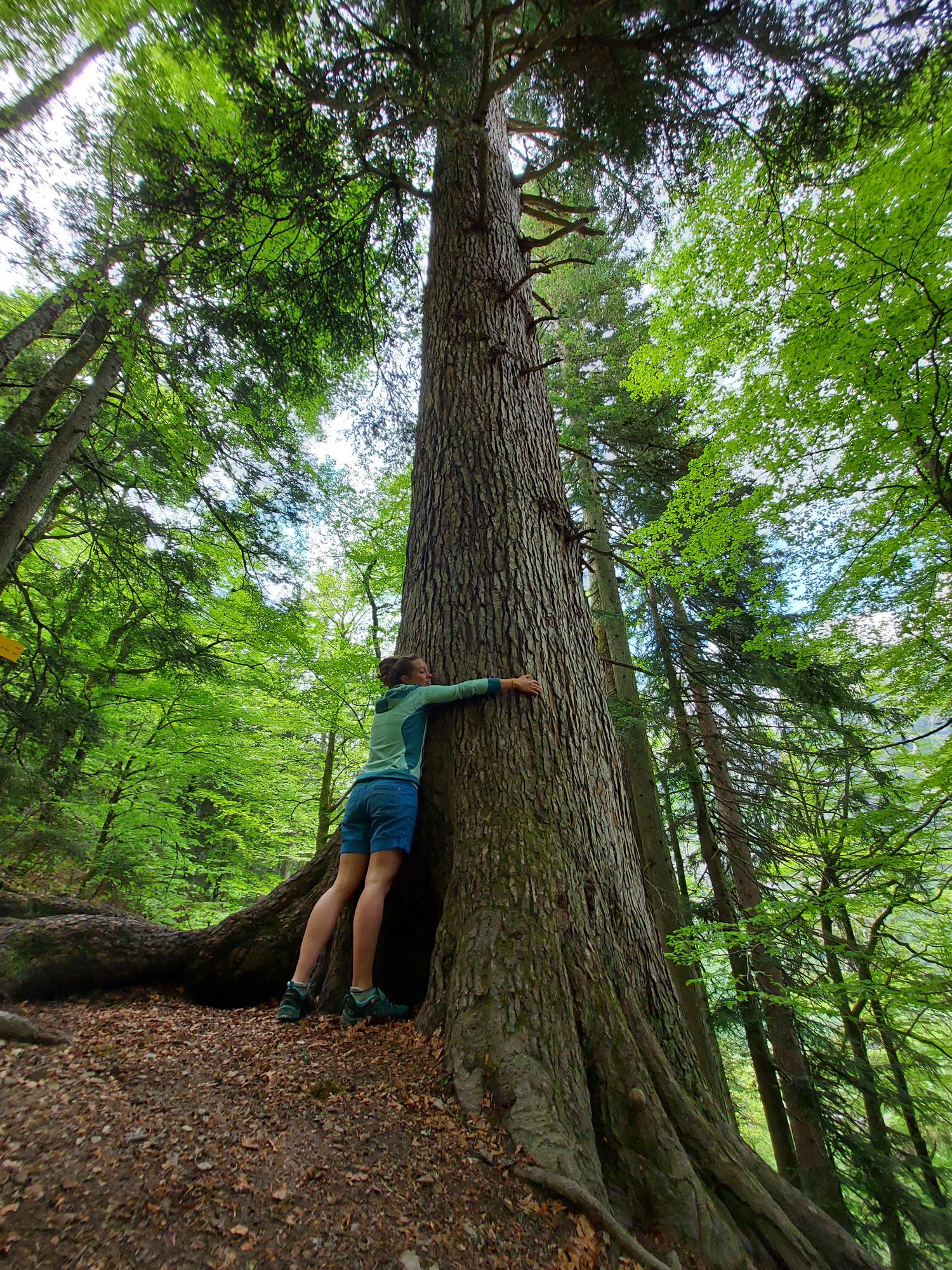 Alter Wald mit höchsten Bäumen von Österreich