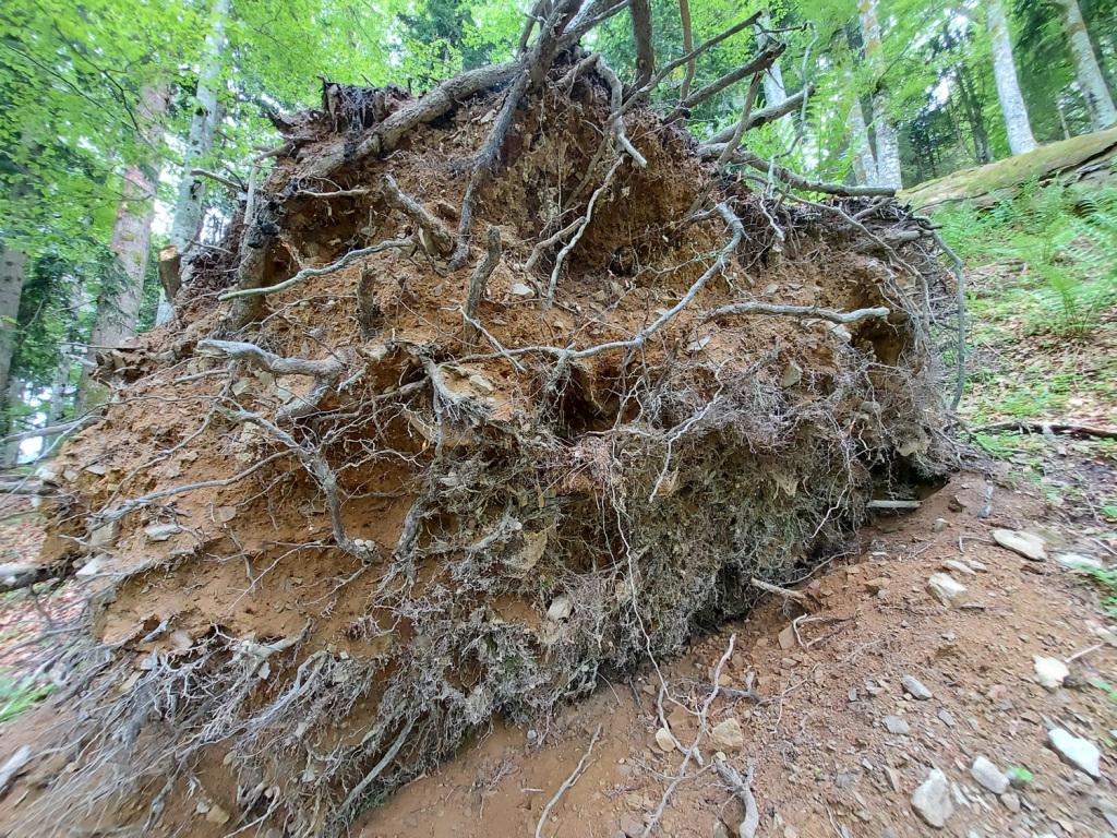 Totes Holz im Lammertaler Urwald