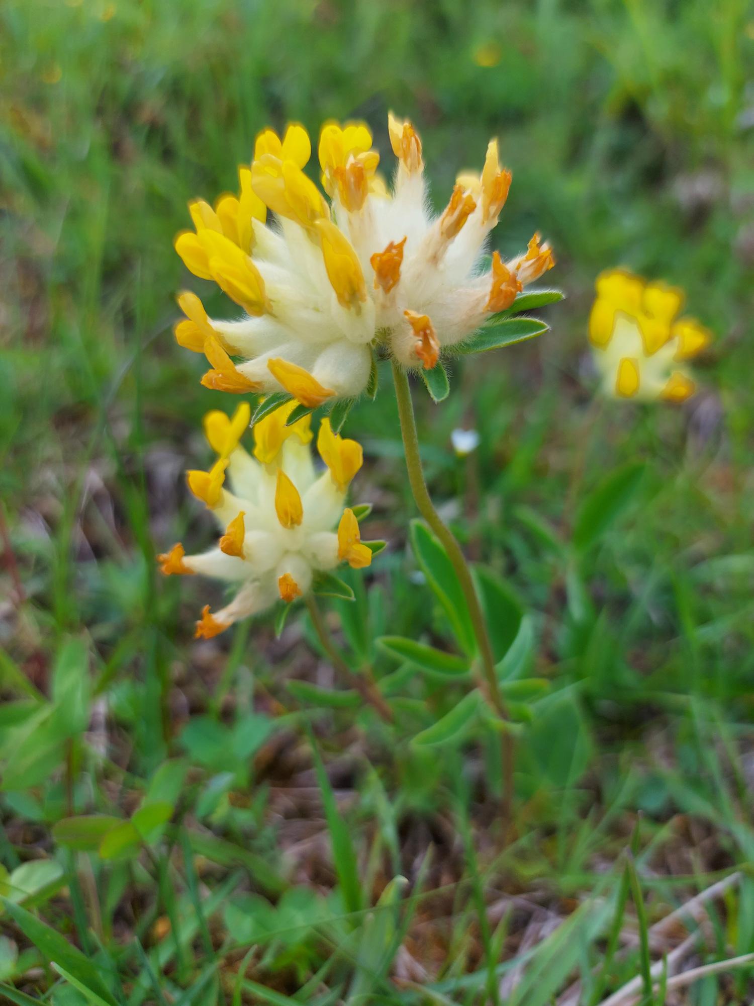 Gelbe Almblume mit vielen langen gelben Blüten